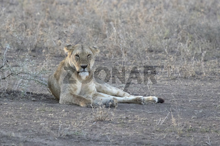Lioness that lies in a clearing in the shade of bushes in the evening African savannah