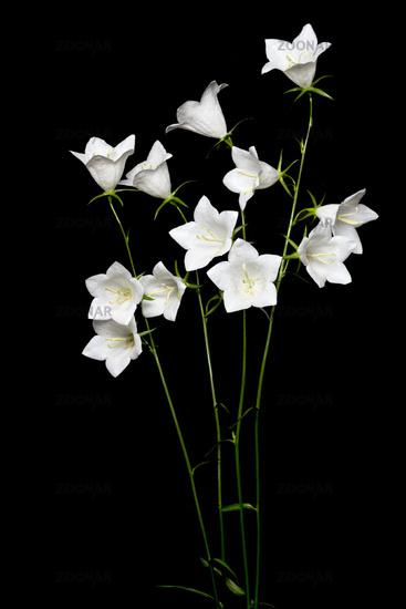 White bellflower (Campanula) on black background