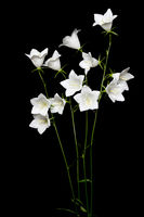 White bellflower (Campanula) on black background