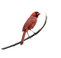 Male Northern Cardinal on white background
