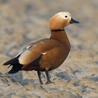 Ruddy Shelduck * Tadorna ferruginea *, invasive spezies in Europe