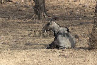 Male nilgai or blue cow who lies on the edge of a forest in the shade of trees and chews grass