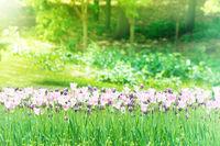 Beautiful tulips garden