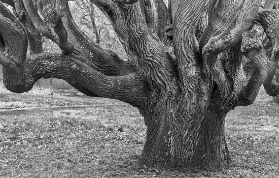 Oak in the park of Ralswiek