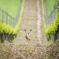 Running Hare in a vineyard