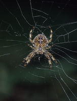 Garden spider is crouching in the net and waiting for prey