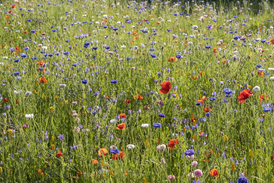Colourful flower meadow