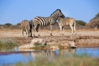 Zebras drinking at a waterhole in Namibia