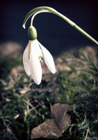 Snowdrops are the first spring flowers among the leaves.