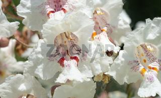 Macro photo of Catalpa bignonioides flowers