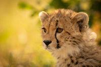 Close-up of cheetah cub sitting looking left