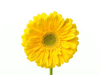 Perfect yellow gerbera flower head with water drops on the petals isolated on white background.