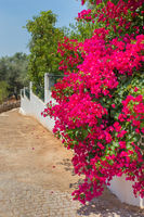 Red Bougainvillea flowers bloom on white wall