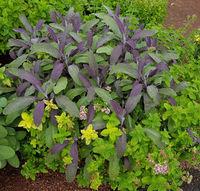 Sage, Purpurescens, Origanum vulgare