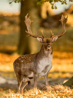 Fallow Deer, Dama dama, Male with antlers in beautiful golden light in autumn forest in Dyrehave, Denmark.