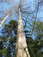 Urweltmammutbaum, metasequoia, glyptostroboides
