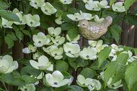 Blühender Blumen-Hartriegel (Cornus Kousa)