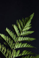 Beautiful green leaf of a fern around a dark background with copy space. Natural layout