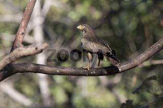 White-eyed Buzzard who sits on a branch in the tree crown in the forest on a sunny afternoon