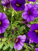 Purple mini petunia flowers