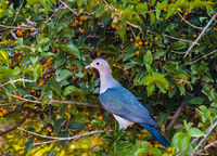 Yala NP - Green Imperial Pigeon