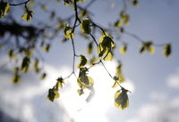 Backlit branches and leaves of a tree. Environment