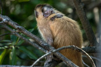 Female capuchin monkey with a baby on her back, Atins, Maranhao state, Brazil