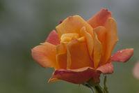 Rose (Rosa sp.) mit Regentropfen