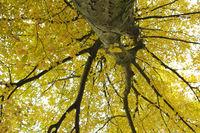hornbeam, Carpinus betulus