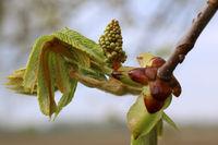 Chestnut blossom in development