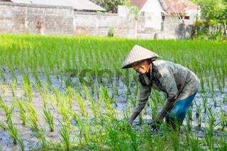 Rice Farmer Near Ubud in Indonesia