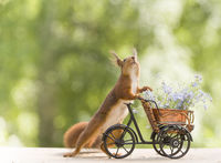 red squirrels and forget me not and a cycle