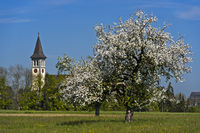 Blossoming apple trees at the catholic church Winzelnberg at Steinbrunn, Switzerland