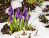 Purple crocus flowers in the snow