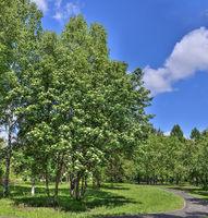 Blooming rowan tree, Sorbus Aucuparia near walkway in spring city park