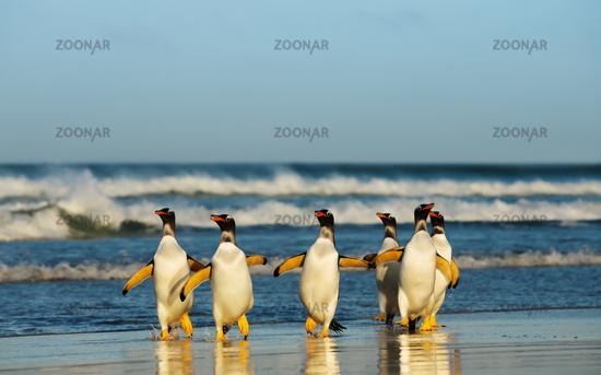 Group of Gentoo penguins coming from Atlantic ocean