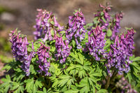 Corydalis solida close-up