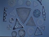 Kieselalgen aus dem Meer unter dem Mikroskop 100x