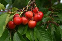 cherries; sweet cherries;