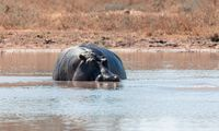 Hippopotamus Botswana Africa Safari Wildlife