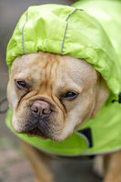 Frenchie in reflective raincoat, on a rainy day