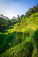 Paddy field rice terraces, ceking, Ubud, Bali, Indonesia