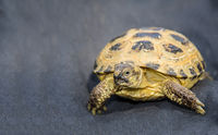 domestic pet tortoise on dark blue textile background close-up view carefully intrigued