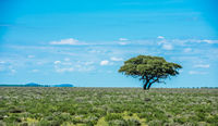 Tree in savannah, classic african landscape image