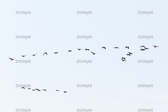 Bird migration of geese in spring