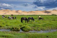 Horses eating grass in Gobi Desert