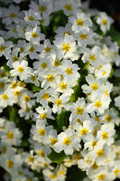 Primrose primula vulgaris. Multicolor country garden primula flowers