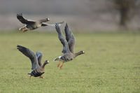 White-fronted Geese * Anser albifrons * taking off