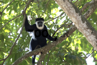 mantled guereza that sits on a branch in the tree's crown and looks down