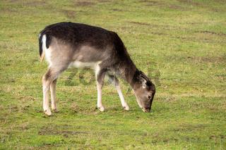 eating deer in the meadow